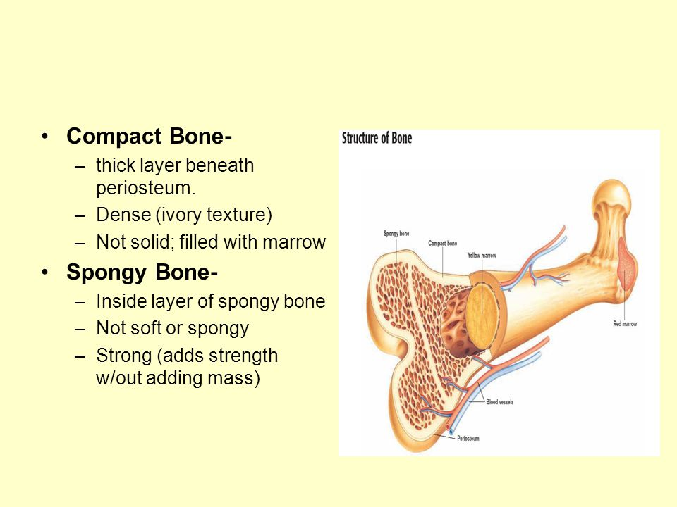 Compact Bone- Spongy Bone- thick layer beneath periosteum.