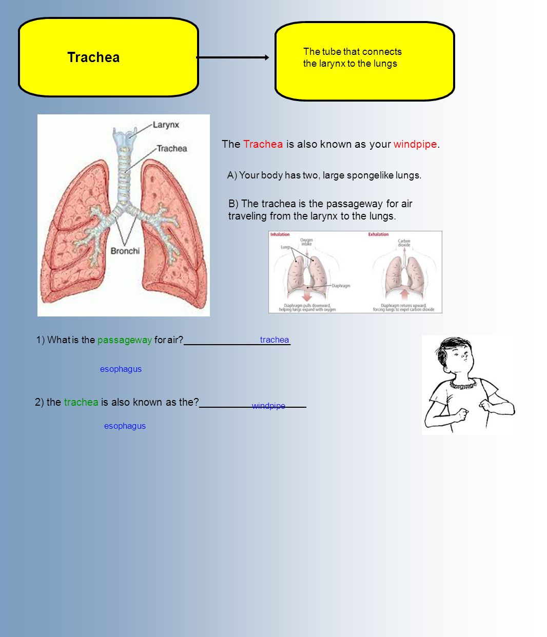 Trachea The Trachea is also known as your windpipe.