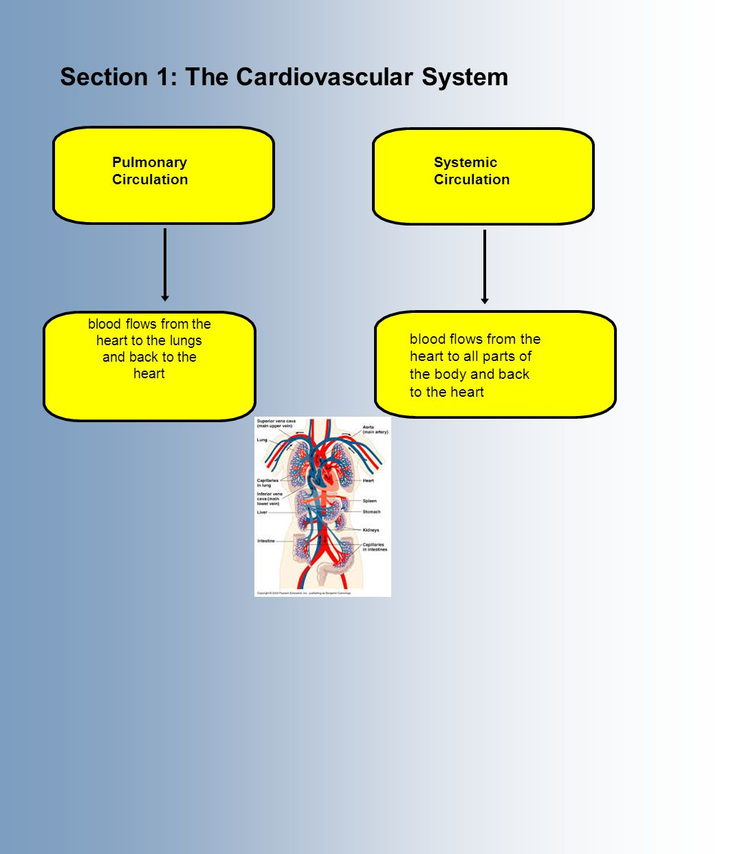 Section 1: The Cardiovascular System