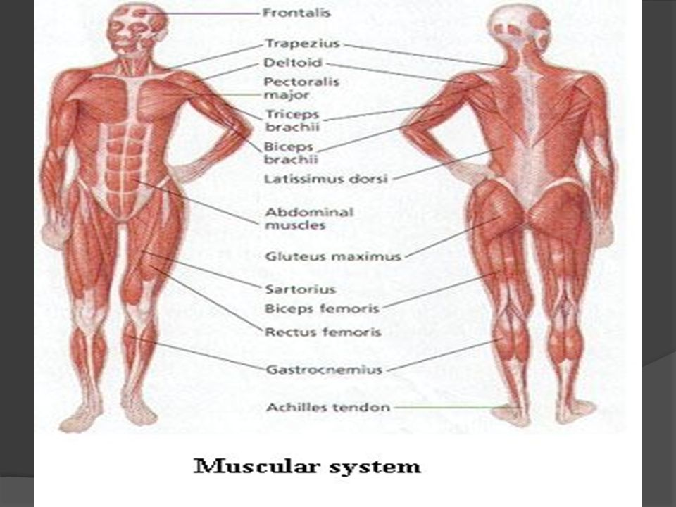 Skeletal Muscles Labeling