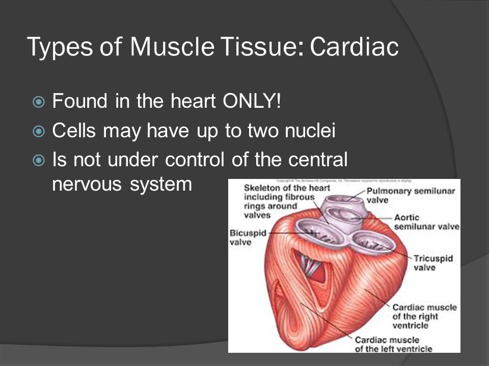 Types of Muscle Tissue: Cardiac