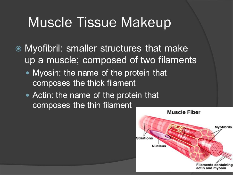 Muscle Tissue Makeup Myofibril: smaller structures that make up a muscle; composed of two filaments.