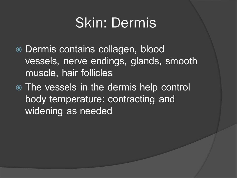 Skin: Dermis Dermis contains collagen, blood vessels, nerve endings, glands, smooth muscle, hair follicles.