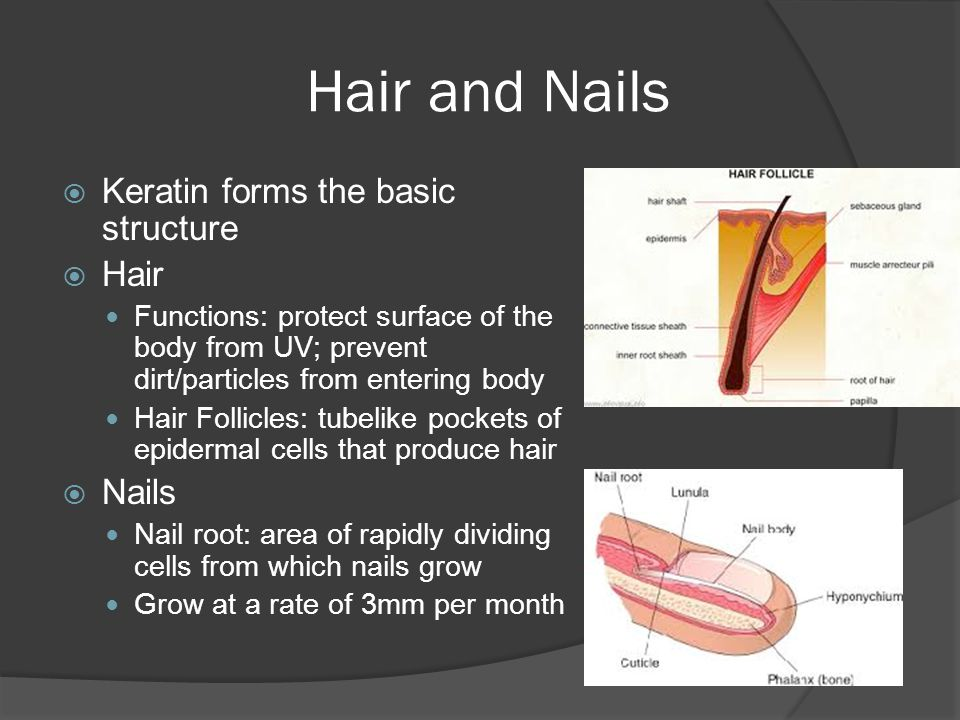 Hair and Nails Keratin forms the basic structure Hair Nails