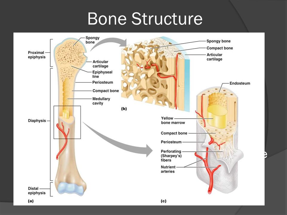 Bone Structure Periosteum: tough layer of connective tissue surrounding bone.