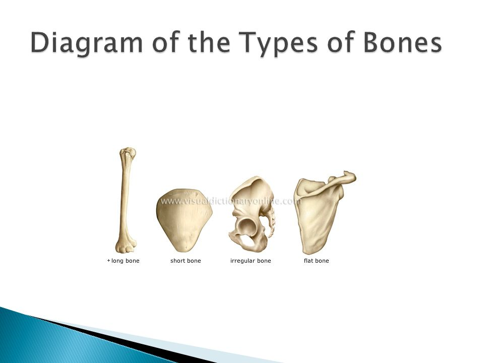 Diagram of the Types of Bones