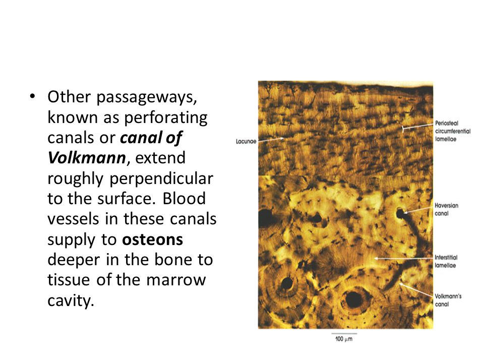 Other passageways, known as perforating canals or canal of Volkmann, extend roughly perpendicular to the surface.