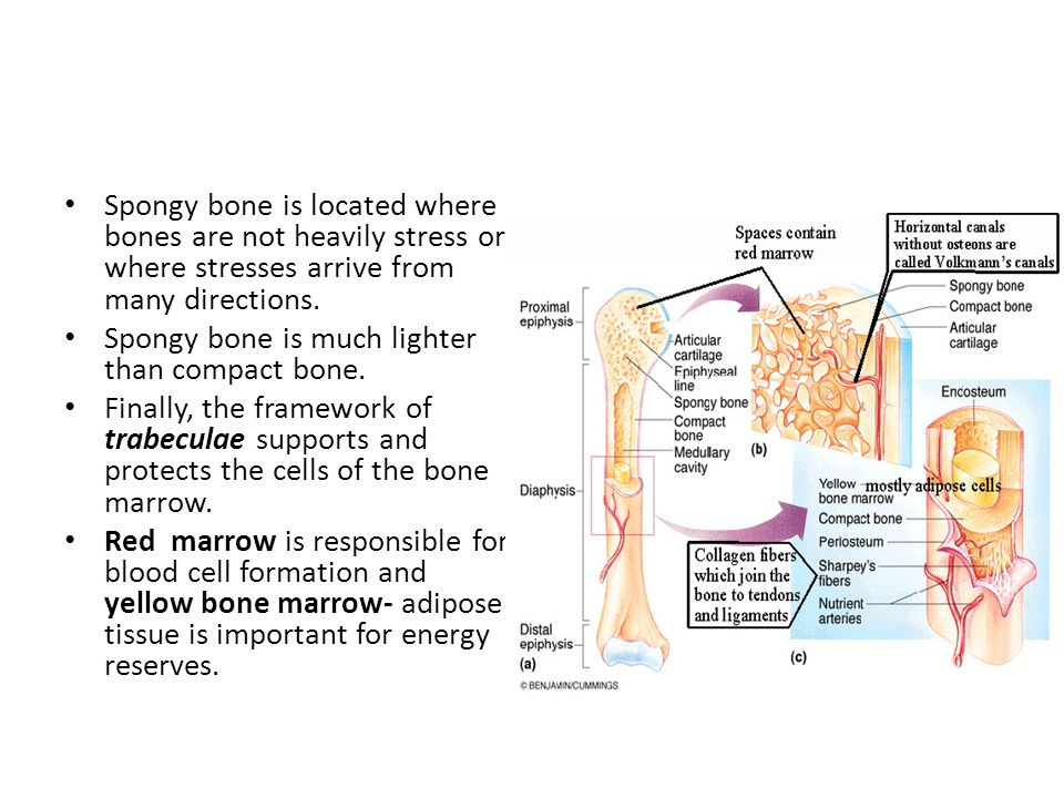 Spongy bone is located where bones are not heavily stress or where stresses arrive from many directions.
