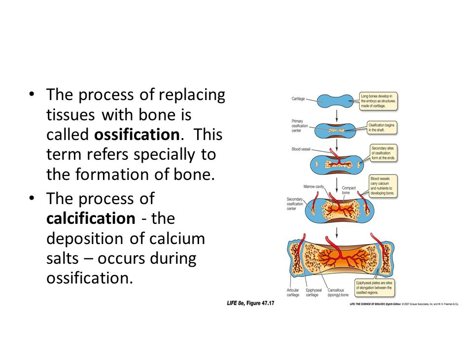 The process of replacing tissues with bone is called ossification