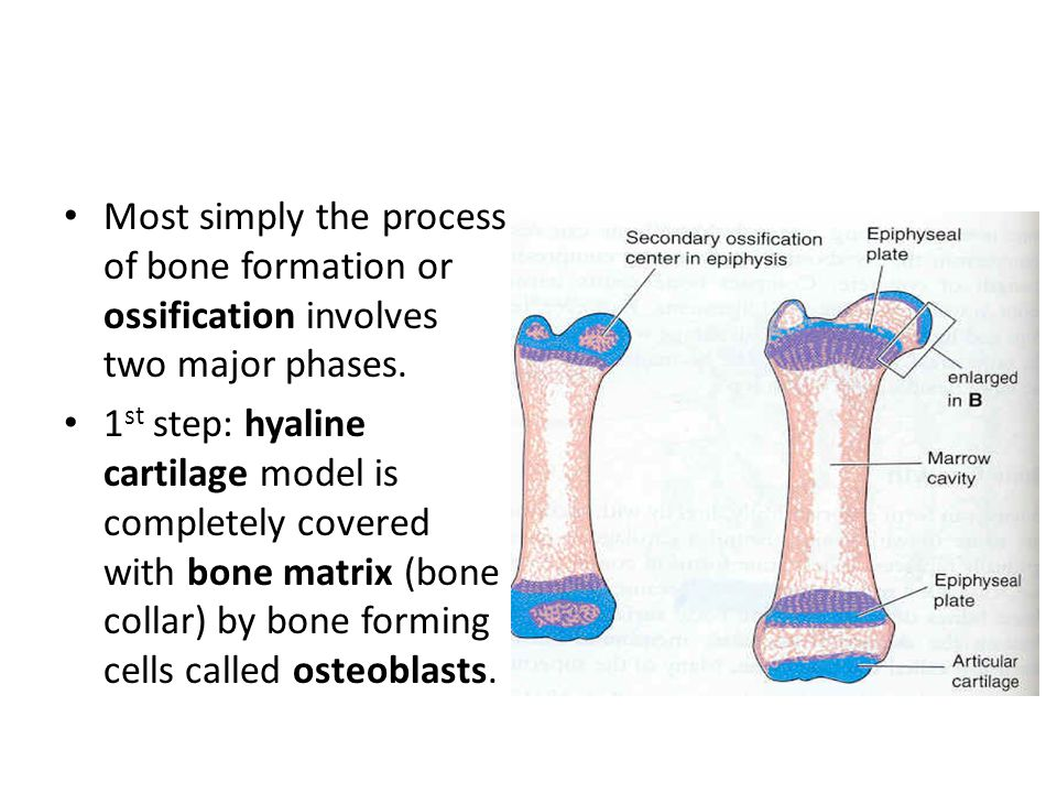 Most simply the process of bone formation or ossification involves two major phases.