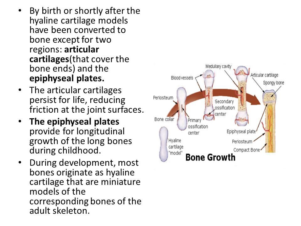 By birth or shortly after the hyaline cartilage models have been converted to bone except for two regions: articular cartilages(that cover the bone ends) and the epiphyseal plates.