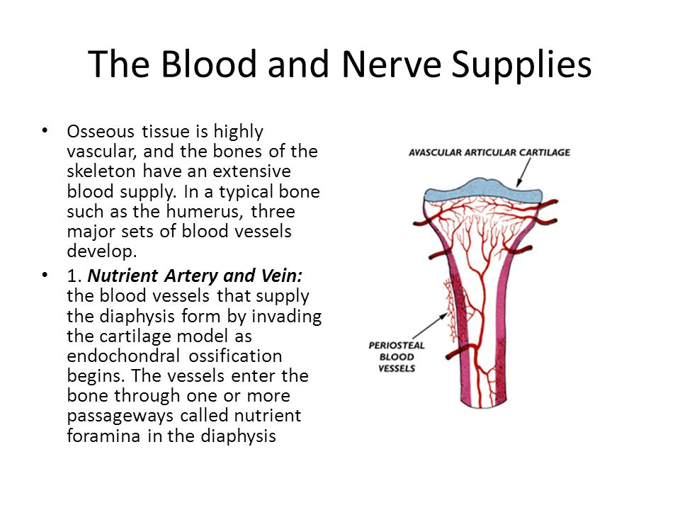 The Blood and Nerve Supplies