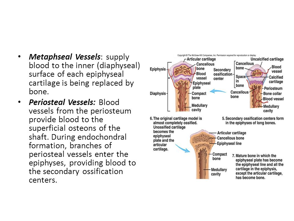 Metaphseal Vessels: supply blood to the inner (diaphyseal) surface of each epiphyseal cartilage is being replaced by bone.