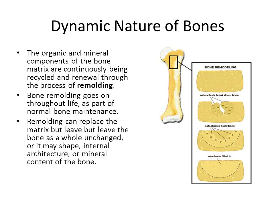 Dynamic Nature of Bones