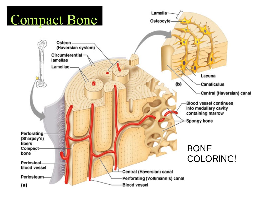 Compact Bone BONE COLORING!
