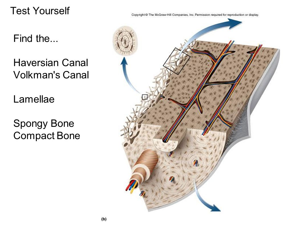 Test Yourself Find the... Haversian Canal Volkman s Canal Lamellae Spongy Bone Compact Bone