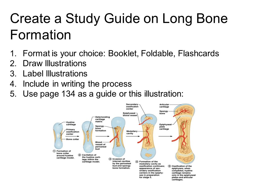 Create a Study Guide on Long Bone Formation