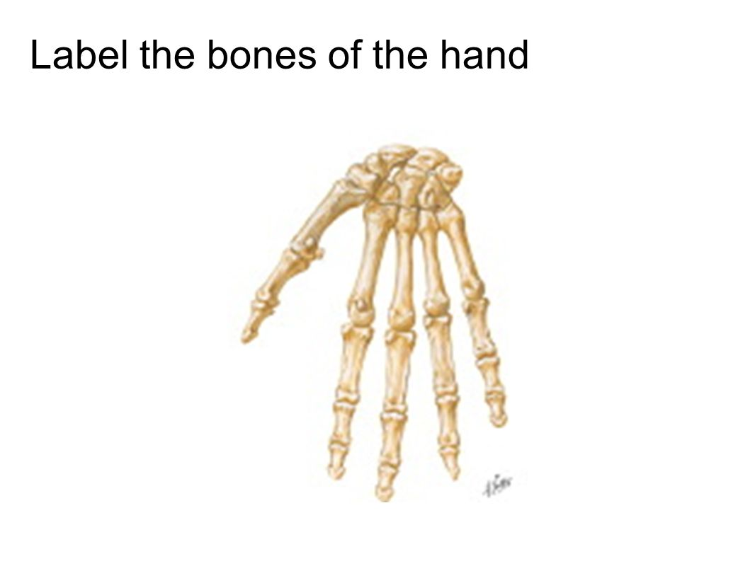 Label the bones of the hand
