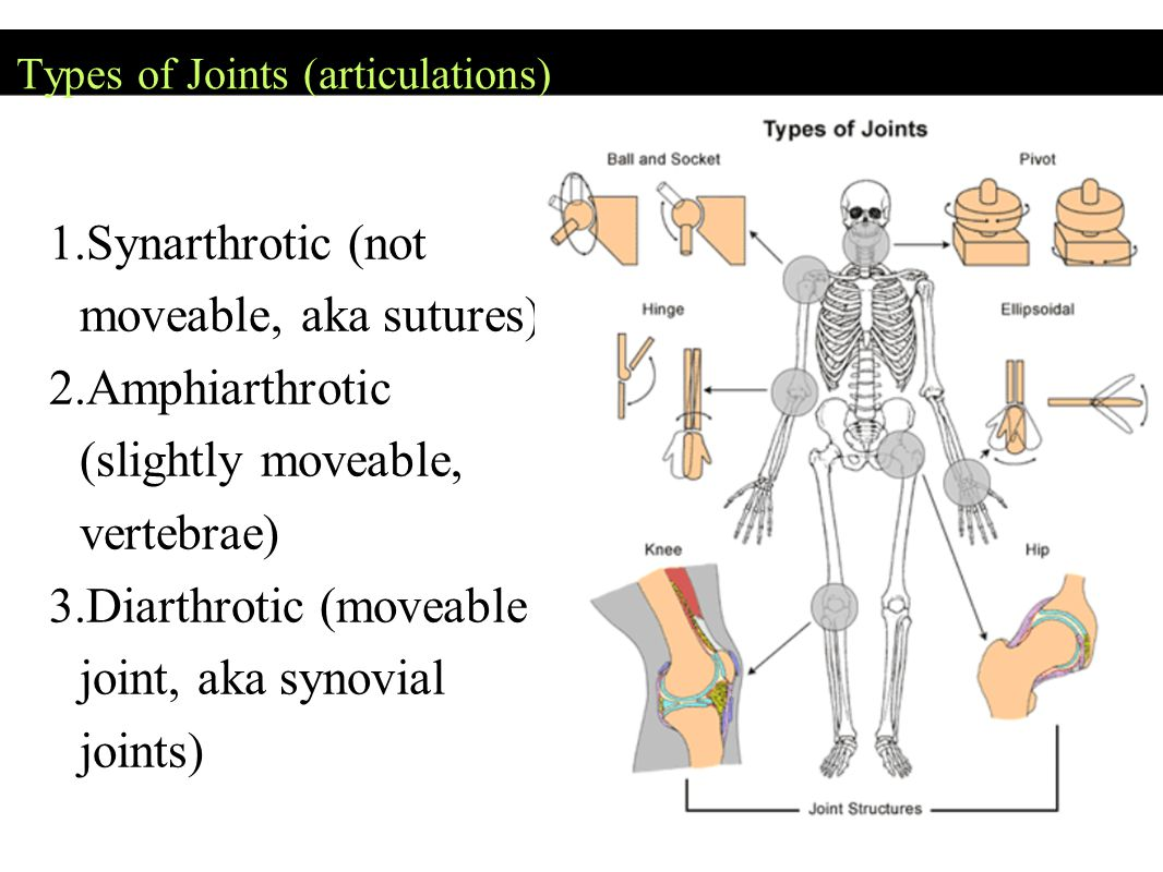 Types of Joints (articulations)