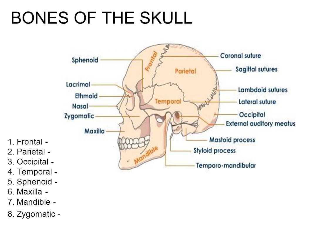 BONES OF THE SKULL 1. Frontal - 2. Parietal - 3. Occipital - 4. Temporal - 5. Sphenoid - 6. Maxilla - 7. Mandible -