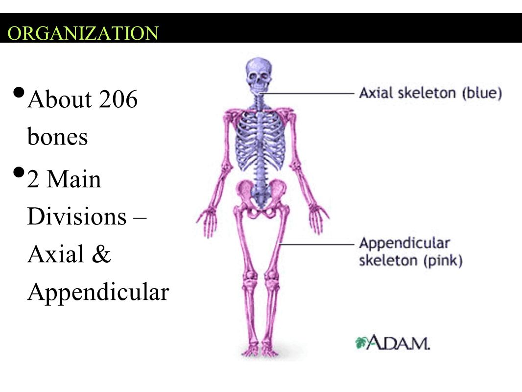 2 Main Divisions – Axial & Appendicular