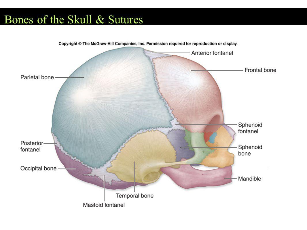 Bones of the Skull & Sutures