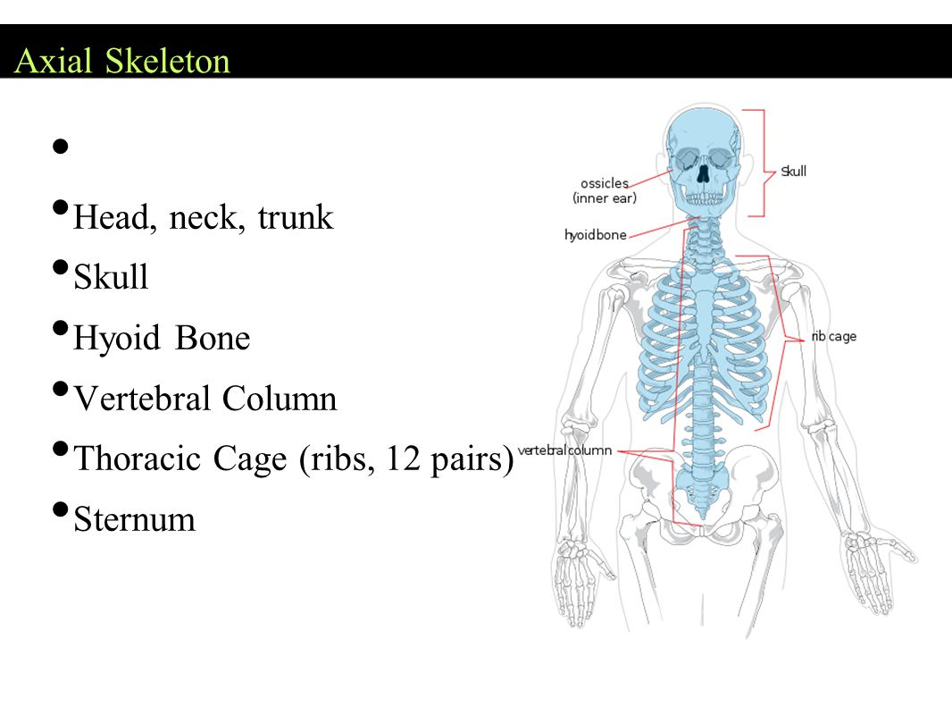 Axial Skeleton Head, neck, trunk. Skull. Hyoid Bone. Vertebral Column. Thoracic Cage (ribs, 12 pairs)