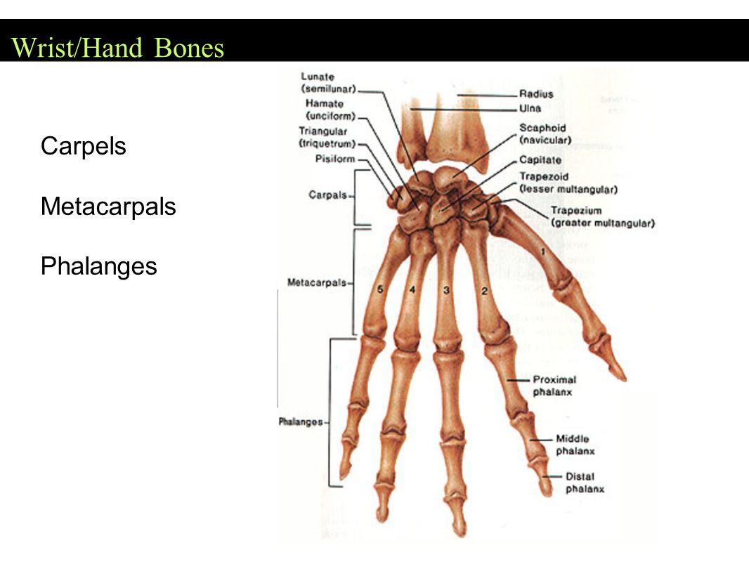 Wrist/Hand Bones Carpels Metacarpals Phalanges