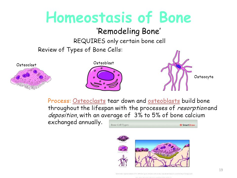 Homeostasis of Bone 'Remodeling Bone' REQUIRES only certain bone cell