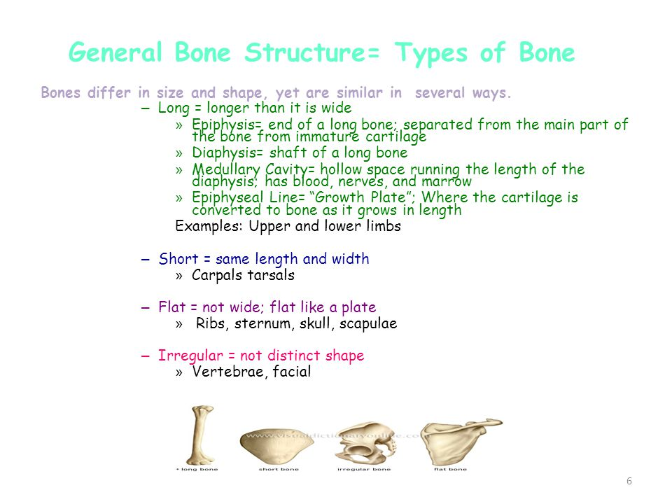 General Bone Structure= Types of Bone