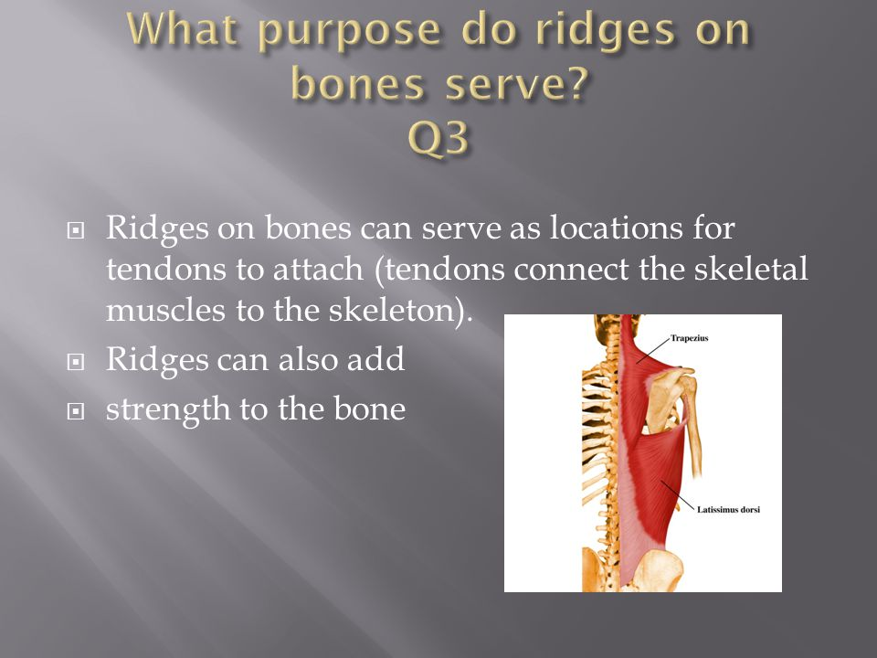 What purpose do ridges on bones serve Q3