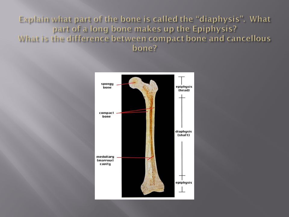 Explain what part of the bone is called the diaphysis