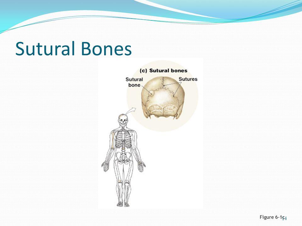 Sutural Bones Figure 6–1c