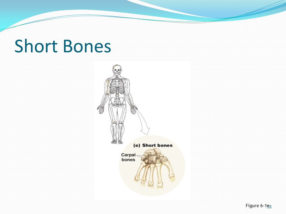 Short Bones Figure 6–1e
