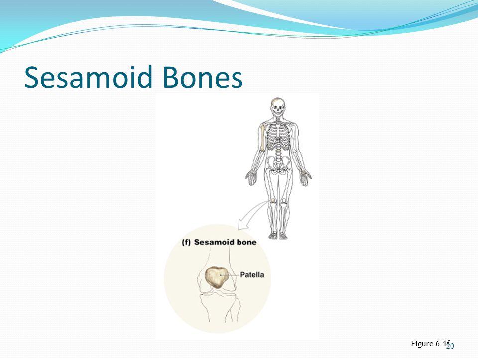 Sesamoid Bones Figure 6–1f