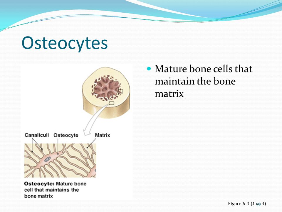 Osteocytes Mature bone cells that maintain the bone matrix