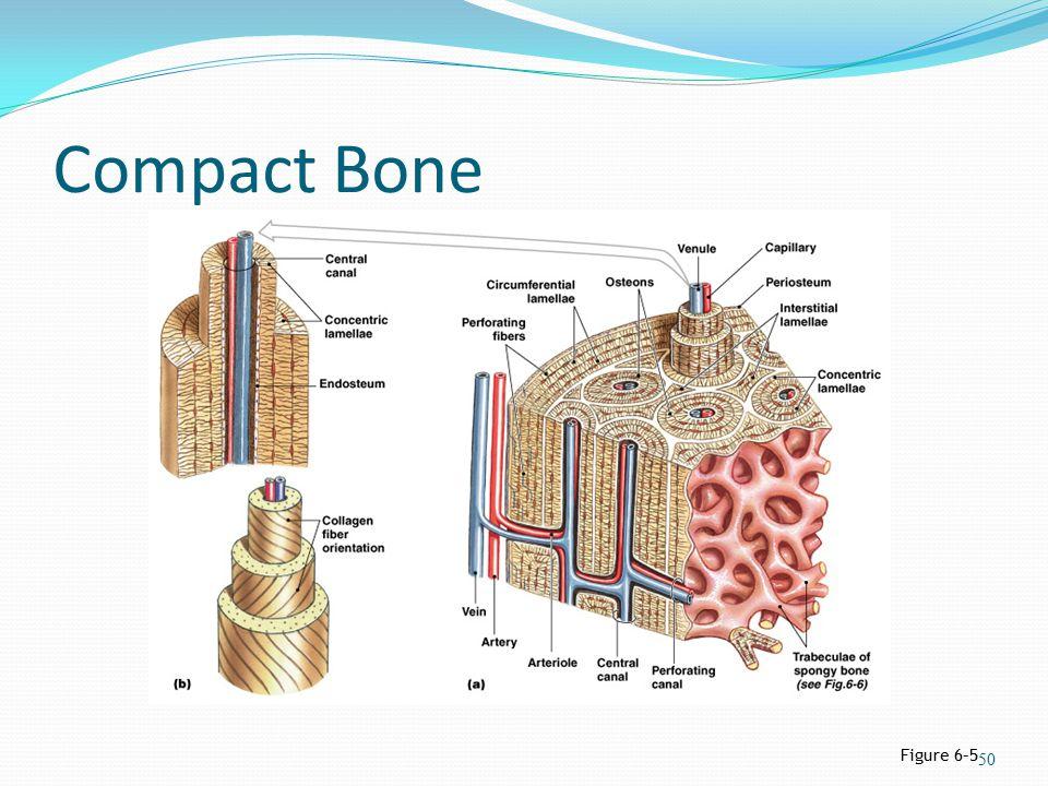 Compact Bone Figure 6–5