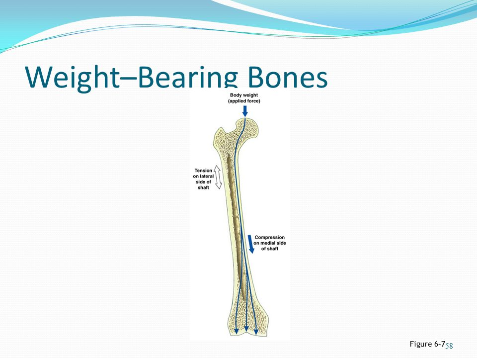 Weight–Bearing Bones Figure 6–7