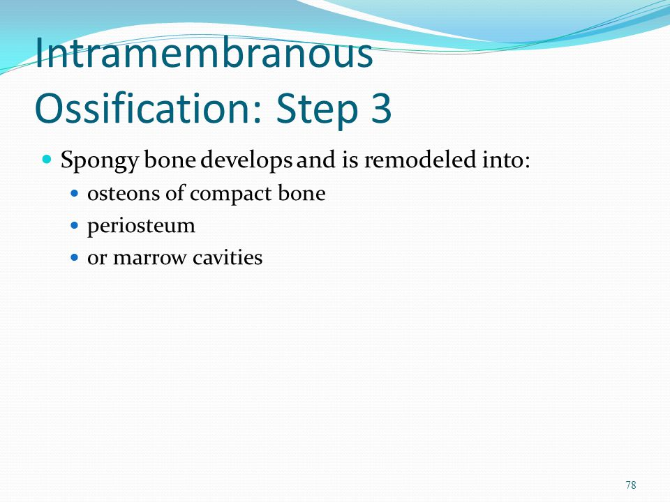 Intramembranous Ossification: Step 3