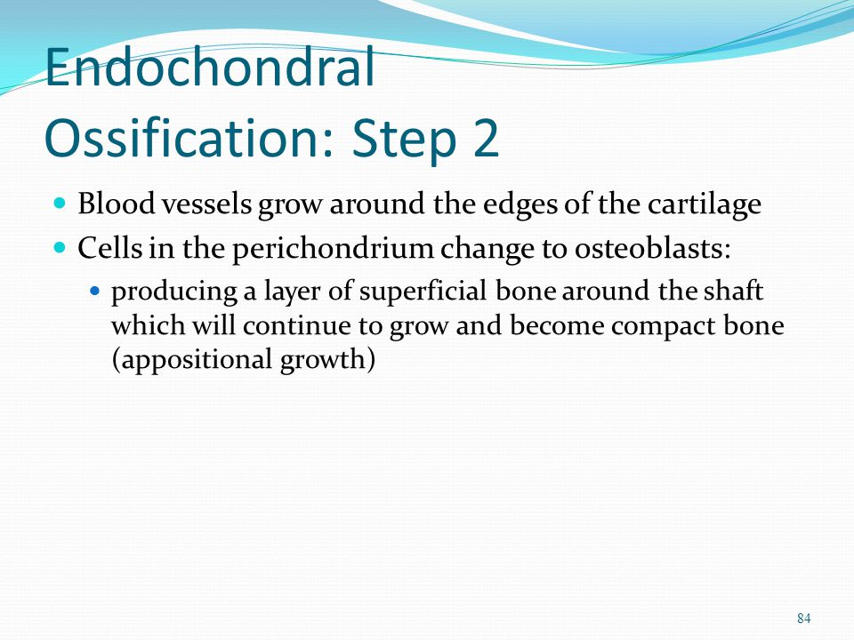 Endochondral Ossification: Step 2