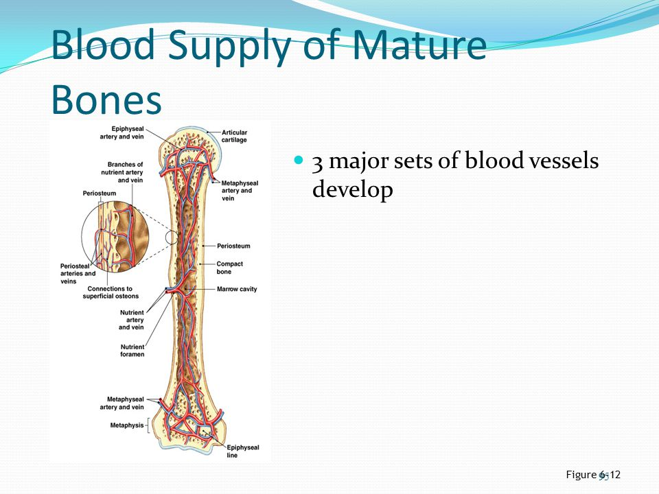 Blood Supply of Mature Bones