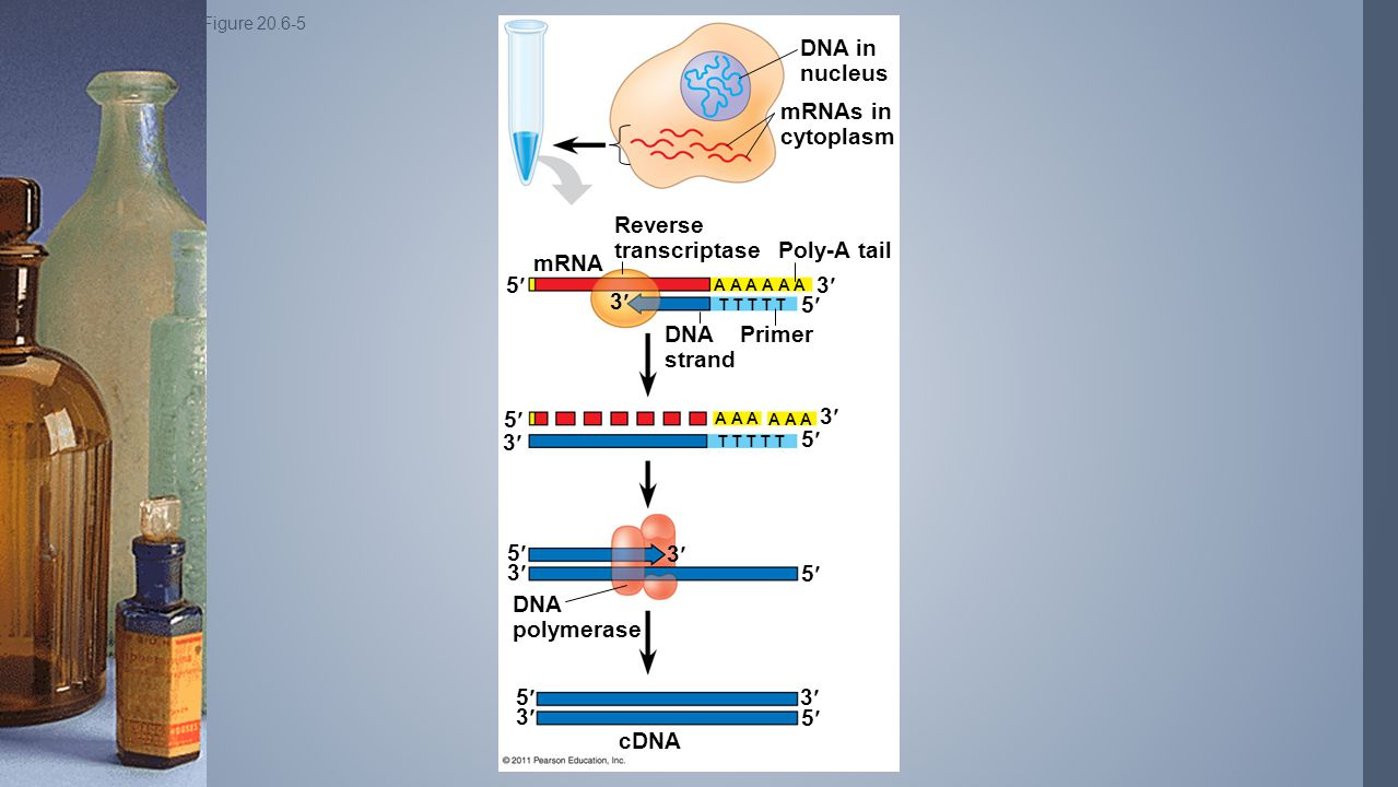 Reverse transcriptase Poly-A tail mRNA 5 3 3 5 DNA strand Primer
