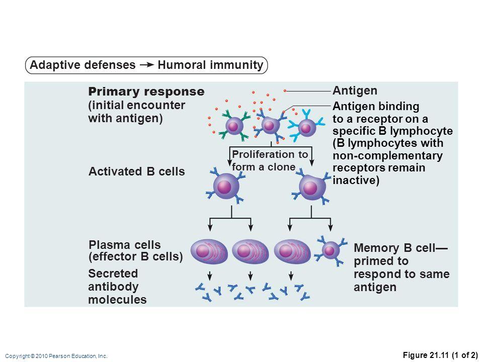 Adaptive defenses Humoral immunity Primary response (initial encounter