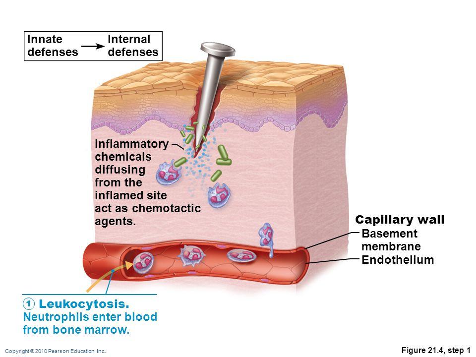 Leukocytosis. Neutrophils enter blood from bone marrow.