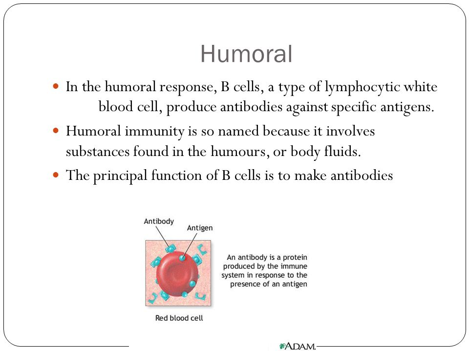Humoral In the humoral response, B cells, a type of lymphocytic white blood cell, produce antibodies against specific antigens.
