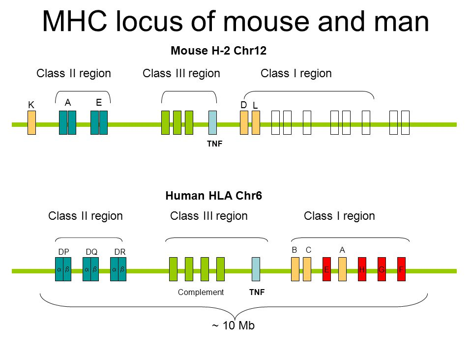 MHC locus of mouse and man