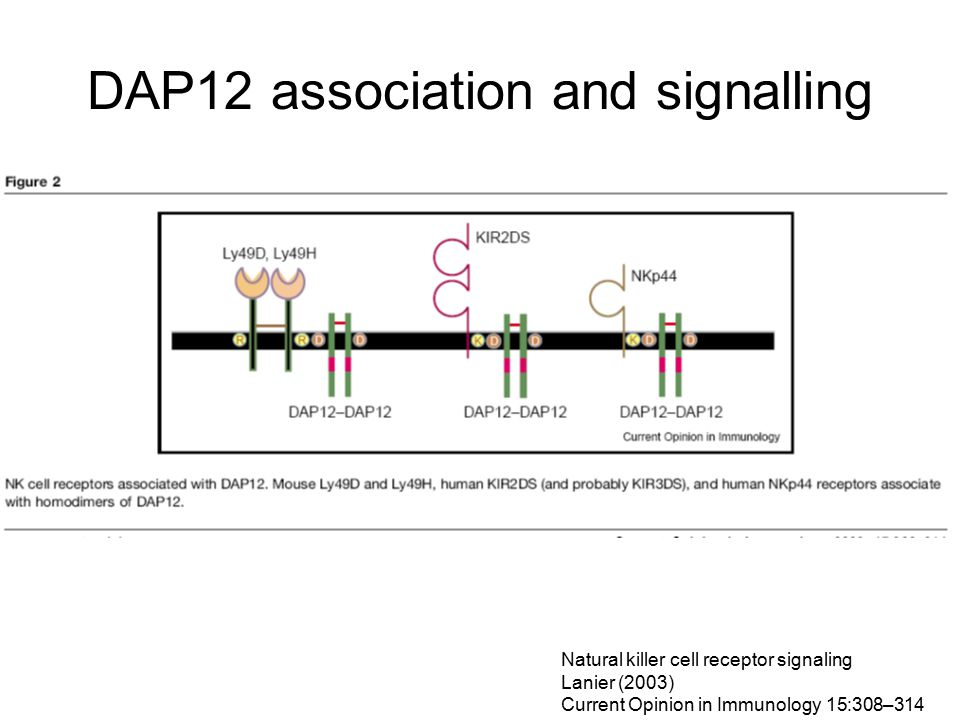 DAP12 association and signalling