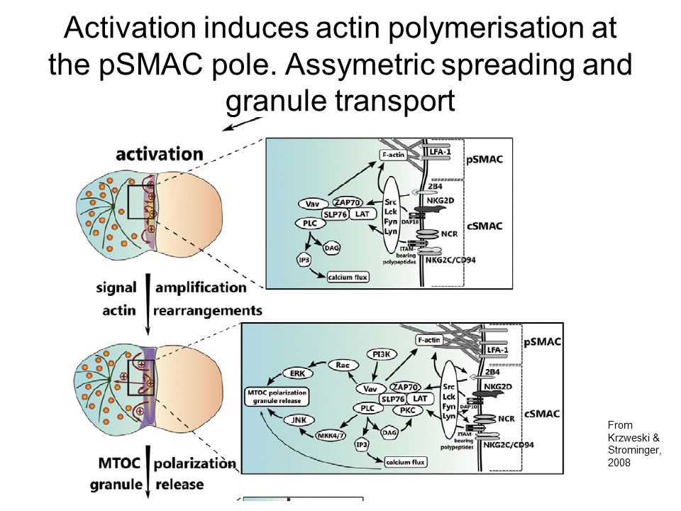 Activation induces actin polymerisation at the pSMAC pole