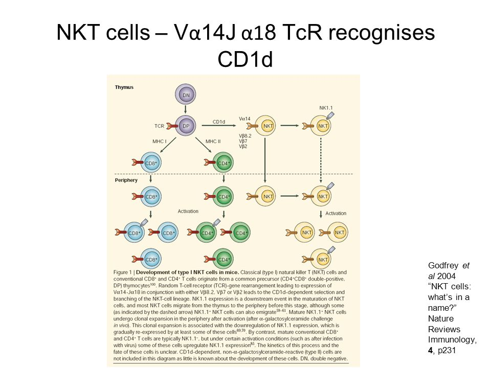 NKT cells – Vα14J α18 TcR recognises CD1d