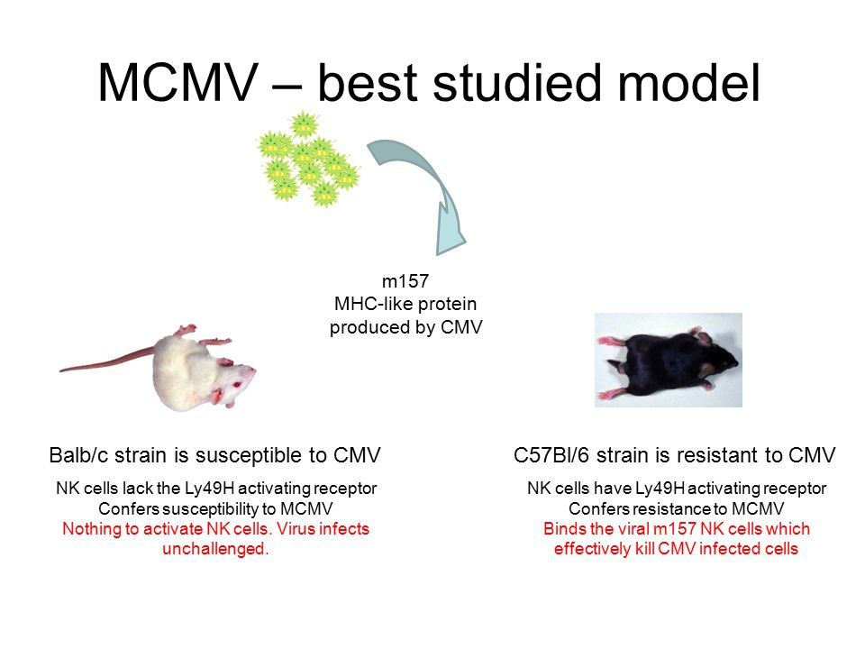MCMV – best studied model